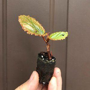 """Benigo Pink"""" Angel Wing Begonia - Starter Plant"""